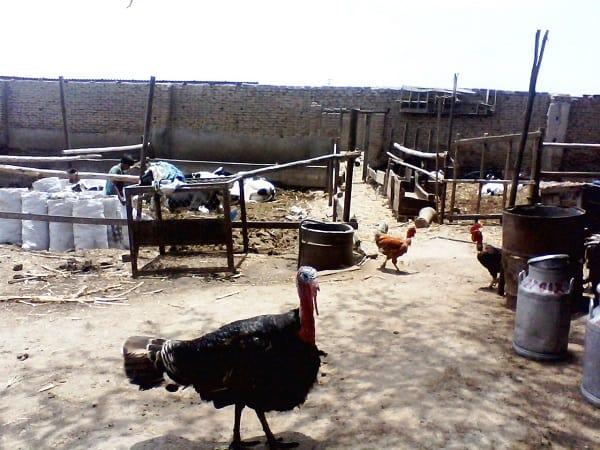 MPT sanciona  con multas quienes crían animales en zonas no compatibles